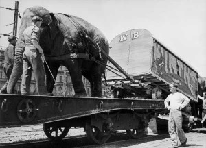 Elephants help load Wirth's Circus train, 1948