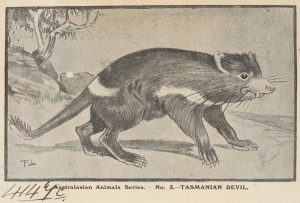 Tasmanian Devil, 1905