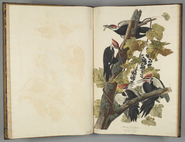 Photograph of a page from Birds of America