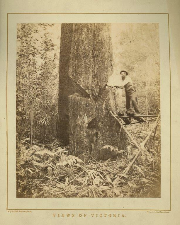 Photo of a man cutting down a tree with an axe