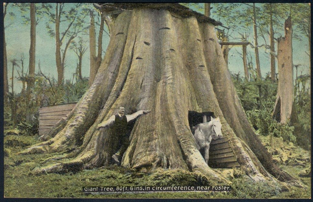 Picture of a man and a horse standing beneath the trunk of a very large tree