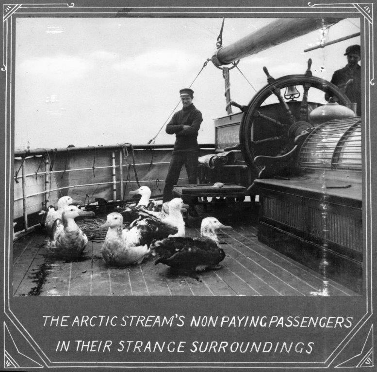 Image of ducks on board a ship with sailor staring at them