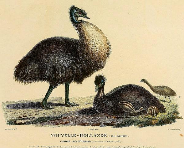 Dwarf emus