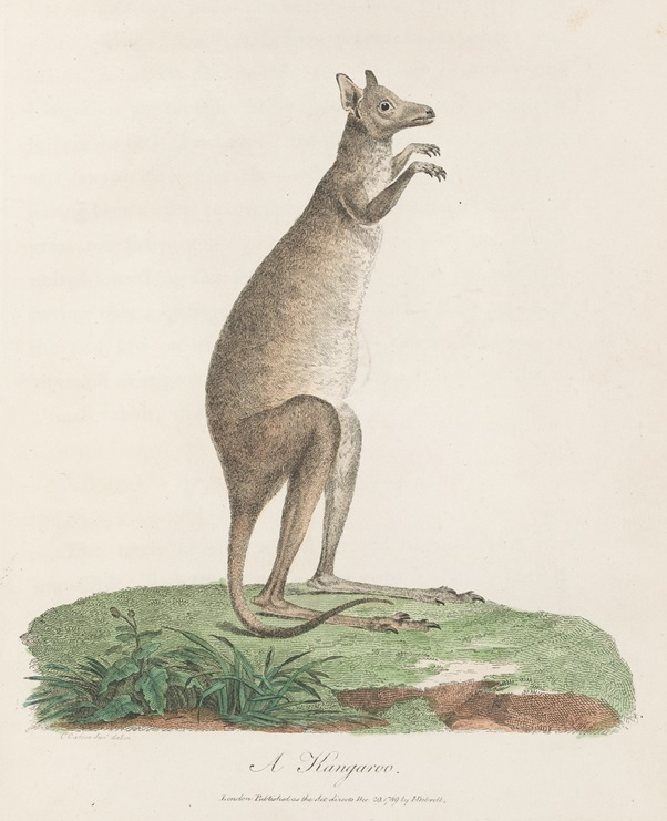 Engraving of a kangaroo