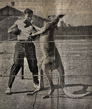 boxing kangaroo in a ring with a man