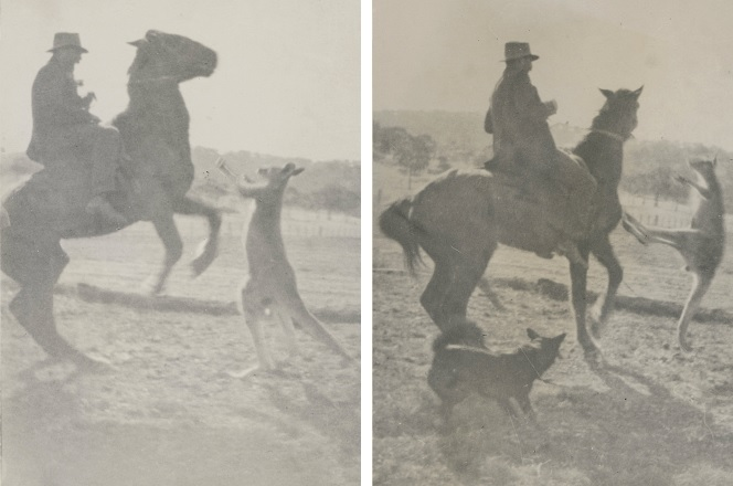George Brien on horseback being attacked by an aggressive wild kangaroo, Wangaratta [ca. 1920 - 1930]; H2007.10/1 and H2007.10/2