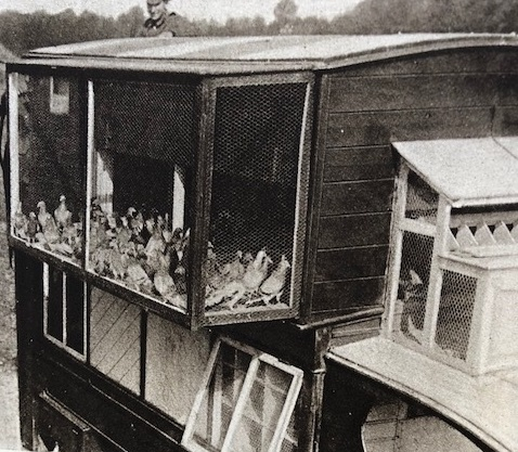 Pigeons inside cage on the back of a lorry