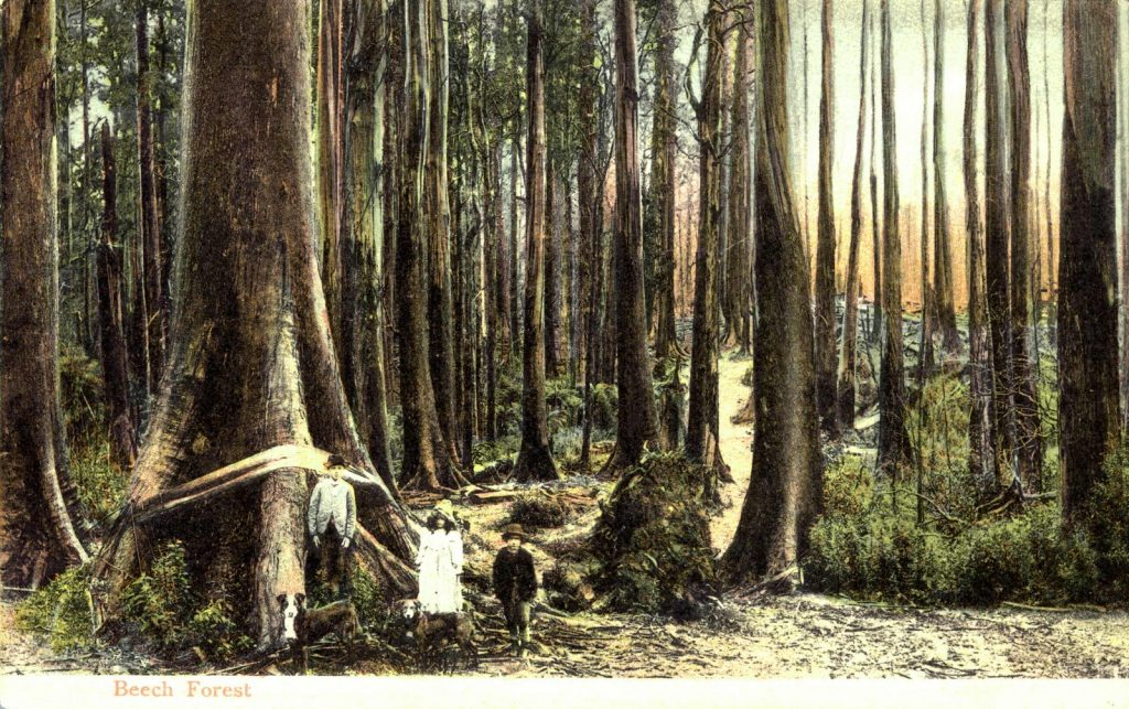 Image of Postcard of Beech forest H96.200-1598