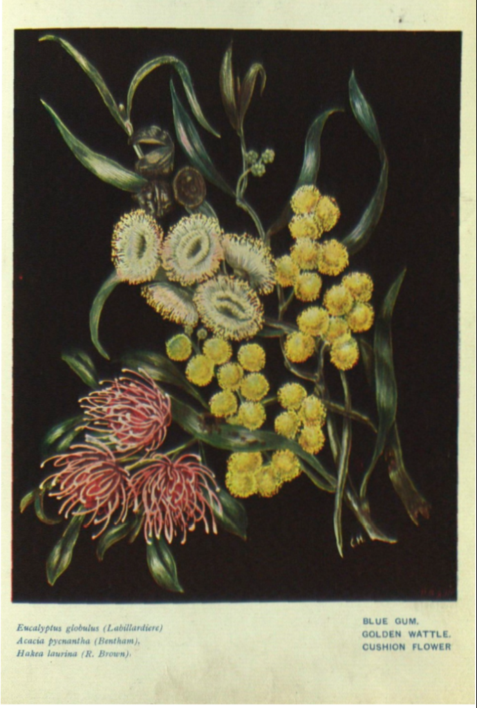 Blue gum, golden wattle, cushion flower