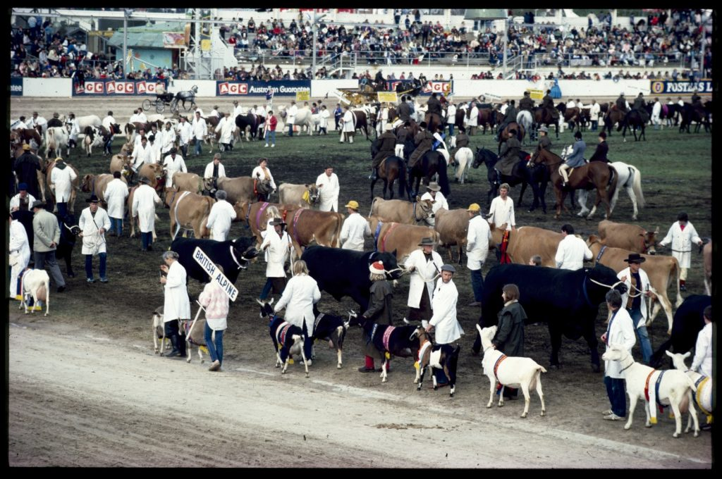 Colour photo of Grand Parade at the Royal Melbourne Show with view of prize-winning animals being led around the showground by handlers
