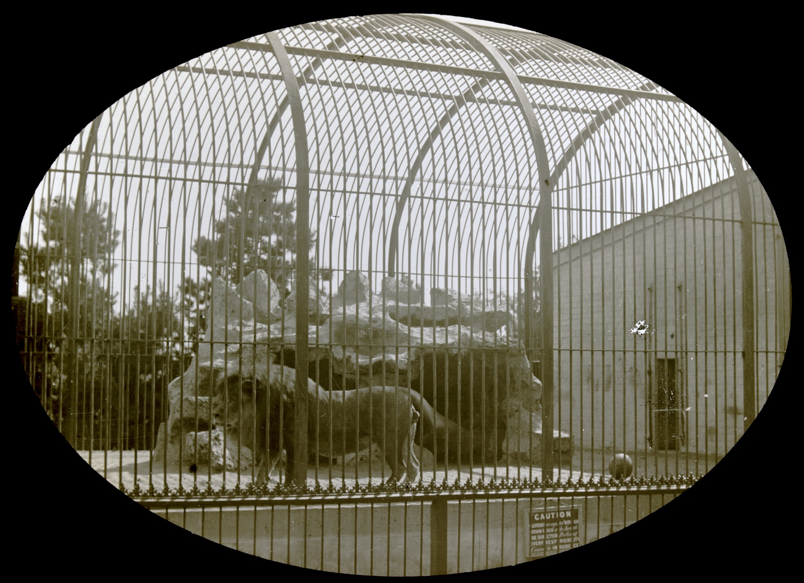 Black and white photo of male lion in cage at zoo