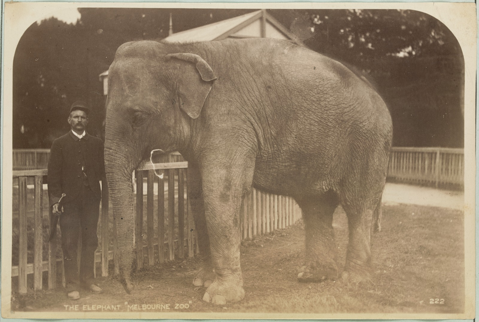 Black and white photo of elephant standing next to man at Melbourne Zoo