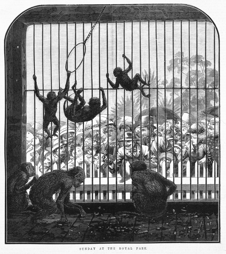 Black and white illustration of monkeys swining in cage at zoo