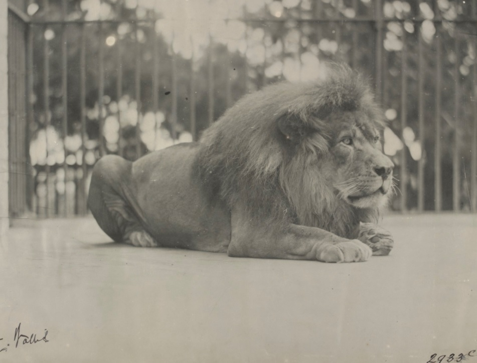 Black and white photo of large male lion in cage