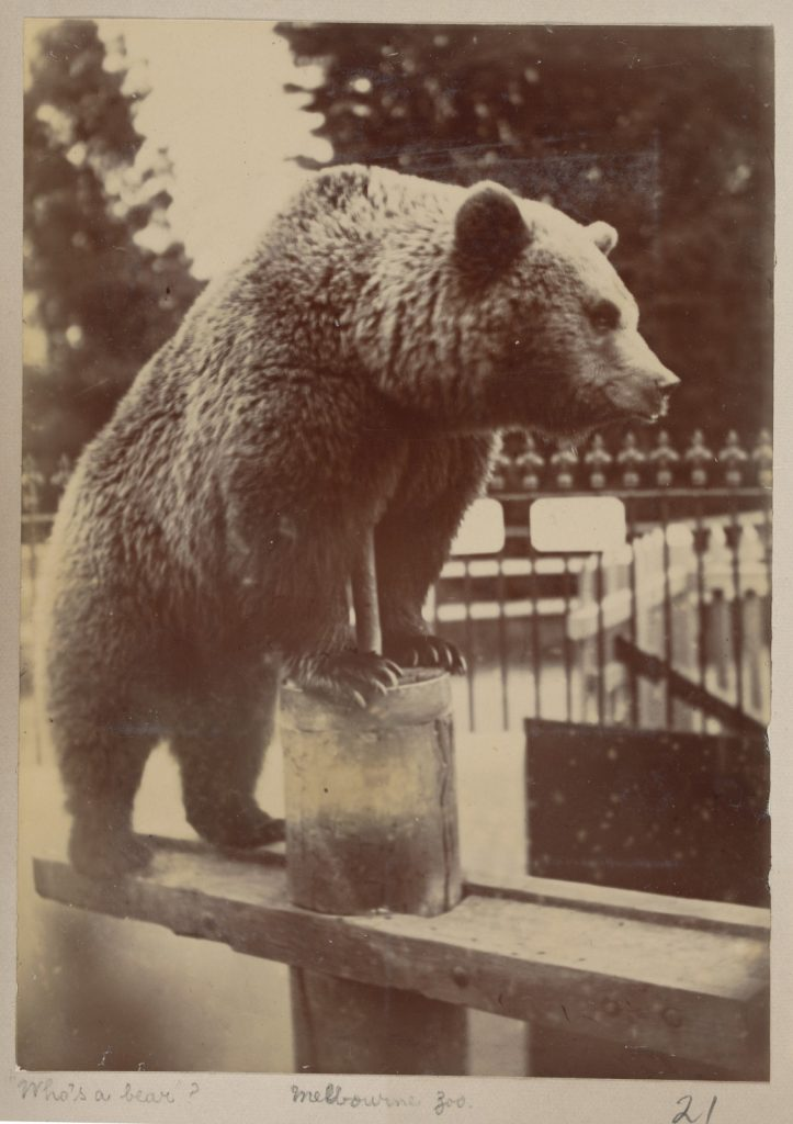 Photograph of bear standing on wooden bench with front paws resting on wooden upright supporting bench, iron railings behind.