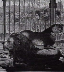 Black and white illustration of lion and lioness in cage