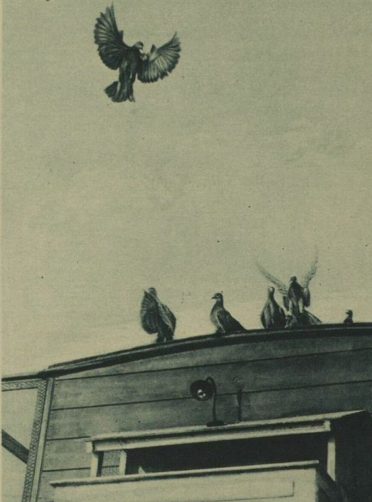 Black and white photo of a pigeon flying away from  a despatch carrier